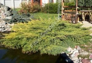 Растение пятого года посадки. Сентябрь 2008.
