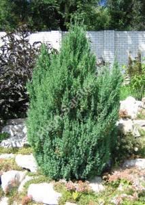 Растение третьего года посадки. Июль 2005.