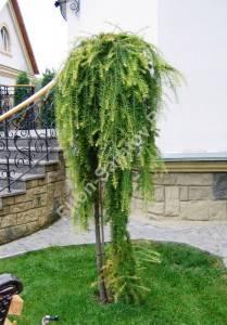 Растение четвертого года посадки на высоком штамбе. Октябрь 2006.