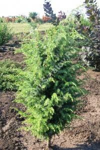 Молодое растение четвертого года посадки. Пока не начал формировать плотную крону. Июнь 2008.