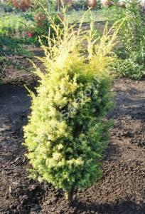 Молодое растение третьего года посадки. Май 2007.