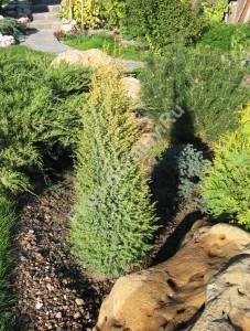 Растение третьего года посадки. Июль 2006.
