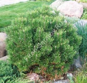 Отличный экземпляр, правильной формы, высаженный на террасе альпинария. Растение четвертого года посадки. Июнь 2006.