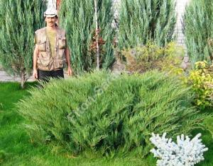 Растение четвертого года посадки. Сентябрь 2008.
