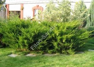 Можжевельник Минт Джулеп в композиции, растения шестого года посадки. Июнь 2007.