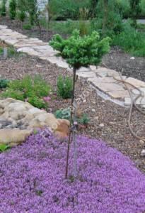 Молодое растение второго года посадки. Май 2006.