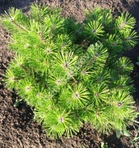 Растение второго года высадки, виден хороший прирост. Август 2008.