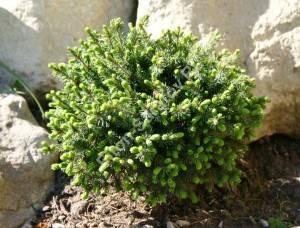 На фото: молодое растение третьего года посадки. Май 2005.