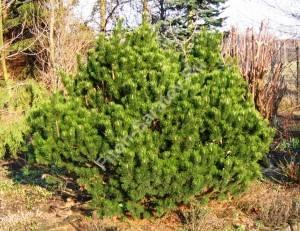 Взрослое растение. Апрель 2007. Польша.
