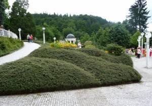 Стелющиеся кизильники в городском озеленение. Август 2008. Чехия.