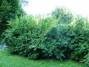 Группа кустов чубушника в парке. Чехия. Август 2008.