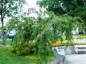 Слива косматая Пендула в парке. Чехия. Август 2008.