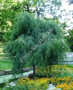 Молодое дерево березы повислой Янги в парке. Август 2008. Чехия.