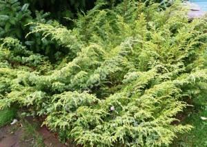 Взрослое растение. Сентябрь 2008.