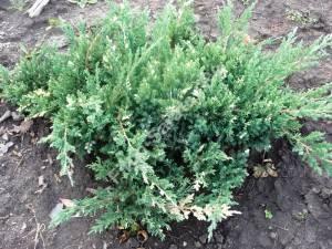 Растение третьего года посадки. Сентябрь 2008.