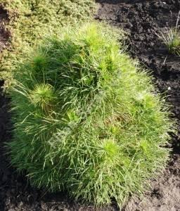 Растение второго года посадки. Май 2008.