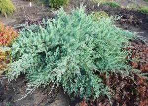 Молодое растение третьего года посадки с высоким темпом роста. Май 2008.