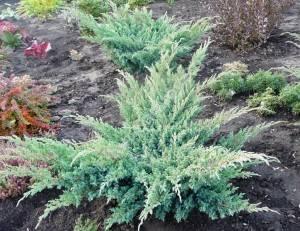 Растение четвертого года посадки. Июль 2008.