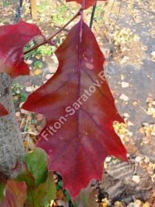 Лист дуба красного осенью. Октябрь 2009.