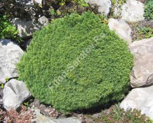На фото: это растение четвертого года посадки, высажено достаточно крупным экземпляром. Растет на альпинарии большой площади.