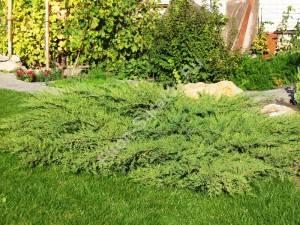 Взрослое растение. Июль 2007.