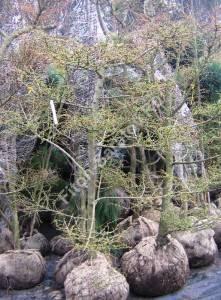 Лиственницы, стриженные под садовые бонсаи. Апрель 2008. Польша.