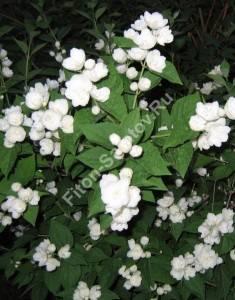 Цветение чубушника гибридного Вирджинал. Июнь 2007.