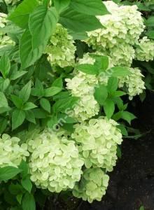 Массовое цветение гортензии Лимелайт. Сентябрь 2008.