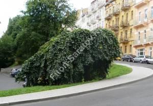 Взрослое растение вяза Пендула в городе. Август 2008. Чехия.