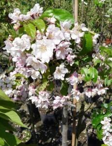 Цветение яблони Ван Эселтайн. Май 2009.
