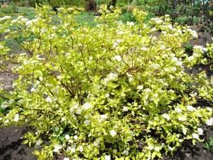 Массовое цветение дерена белого Аурея в конце мая. 2009.