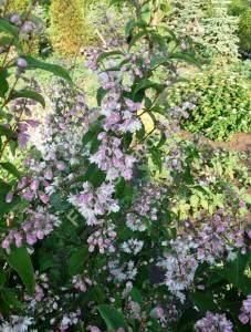 Дейция шершавая Плена в период массового цветения. Июнь 2009.