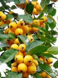 Плодоношение яблони Голден Хорнет. Сентябрь 2009.