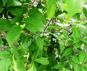 Невзрачные цветки бересклета крылатова. Май 2009.