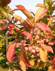 Плоды бересклета европейского. Коробочки еще не раскрылись. Сентябрь 2014.