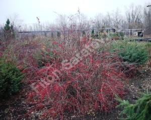 Плоды на кусте барбариса Индиан Самме зимой. Ноябрь 2012.