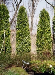 Взрослые экземпляры в обсадке забора. Апрель 2004.