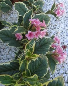 Повторное цветение вейгелы Вариегата. Октябрь 2005.