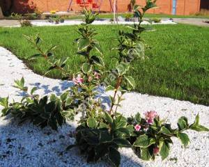 Так молодое растение разрастается за один сезон. Октябрь 2005.