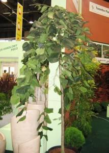 Молодое растение вяза Кампердовни на выставке. Сентябрь 2007. Польша.