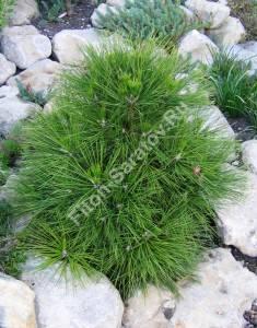 Растение третьего года посадки на альпинарии. Июль 2006.
