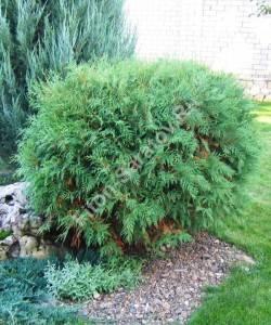 Растение четвертого года посадки. Октябрь 2008.
