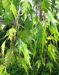 Листья березы Лациниата. Май 2007.
