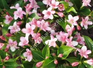 Цветение вейгелы Розабелла. Июнь 2008.