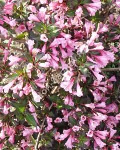 Цветение вейгелы Нана Пурпурия. Июнь 2008.