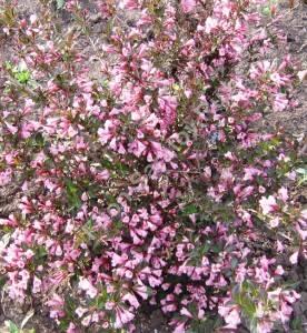 Цветущий куст вейгела Фолис Пурпуреис. Июнь 2008.