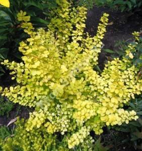 Молодое растение, высаженное в полутени. Июль 2006.