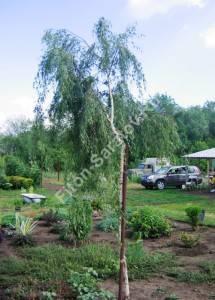 Молодое дерево березы Грацилис на питомнике. Август 2008.