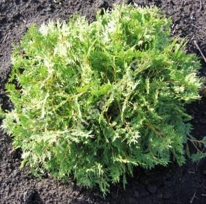 Растение третьего года посадки. Июль 2008.