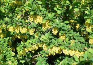 Цветение барбариса Индиан Самме. Май 2009.